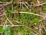 Sphagnum moss in the open bog