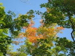 Blush of Autumn in Maple Leaves
