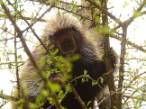 13-05-23 5 lake loop Porcupine from Rennicke