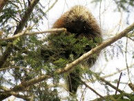 A porcupine observing the Sylvania snowshoers from the safety of a tree