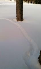 Porcupine tracks!