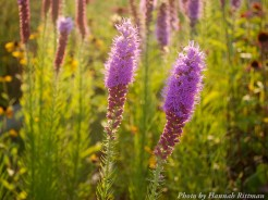 14-08-31 Ironweed by Rittman