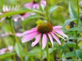 14-08-31 purple flower by Luedke