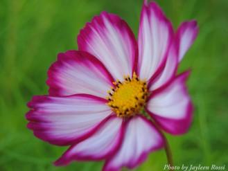 14-09-02 Purple white flower by Rossi