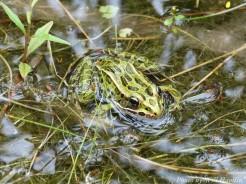 14-09-03 Leopard Frog by Hamlin