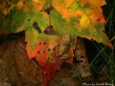 14-09-05 Peeper on Leaf by Young