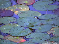 14-09-08 Lily Pads by Faulkner