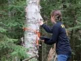Amaya investigating the bark of a birch tree